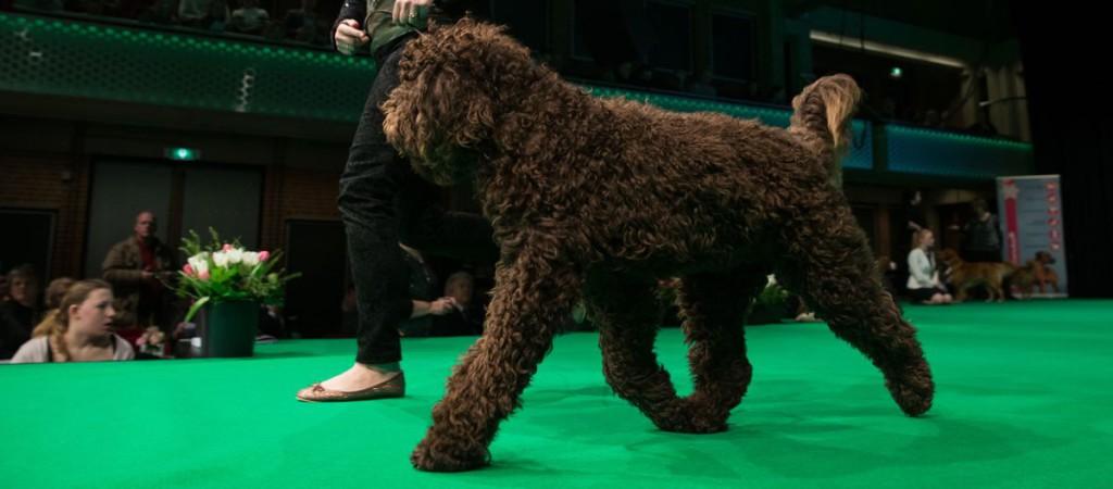 Barbet bij 'Hond van het jaar show 2013'