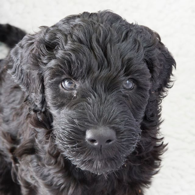 Innocent Islay aka Moira (7wk/ foto; A. Havinga)