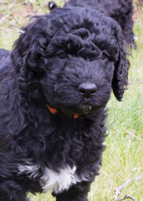Curly Cambridge aka Bettie (7wk/ foto; A. Havinga)